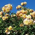 Variante Kletterrosen von Garten Schlüter bei Du und dein Garten