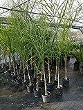 pianta piante di cocos palma palme altezza 130/150 foto reale vivaiosantabernadetta