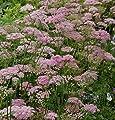 Große Bibernelle Rosea - Pimpinella major von Baumschule bei Du und dein Garten