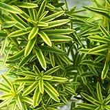 Taxus baccata var.david - Tejo - Maceta de 10Litros