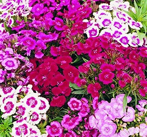 Dianthus barbatus INDIAN TEPPICH SWEET WILLIAM Samen! -