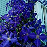 Soteer Garten- Clematis 50 pcs Kletterpflanze Samen Mehrjährig Zierpflanze Immergrün für den Garten Blumen Samen Climbing Clematis winterhart