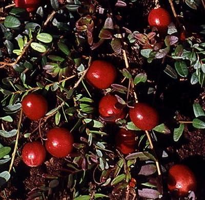 Cranberry (Moosbeere), 3 Pflanzen von Amazon.de Pflanzenservice bei Du und dein Garten