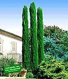 BALDUR-Garten Echte Toskana 'Säulen-Zypressen', 1 Pflanze, Cupressus sempervirens pyramidalis