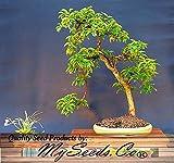 Portal Cool (20) asiatische Hartriegel, die japanische Cornel Dogwood Seeds Cornus officinalis Comb S & H