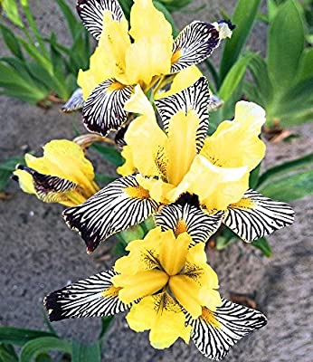 """BALDUR-Garten Iris """"Censation® Golden Zebra"""" 3 Knollen Schwertlilie von Baldur-Garten bei Du und dein Garten"""