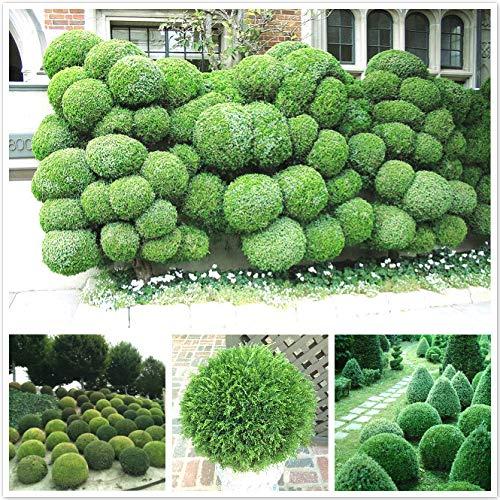 fash lady 50 palle di ginepro in vaso fiori purificare l'aria assorbire gas nocivi casa pianta da giardino molto facile da coltivare