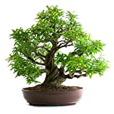 BONSAI MELOGRANO h.58 - Punica granatum