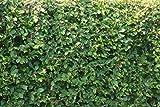 Weissbuchenhecke, Heckenpflanzen für ca. 5 m Hecke (25 Pflanzen, Liefergröße: 80120 cm)