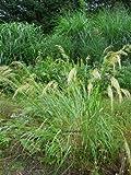 Staudenkulturen Wauschkuhn Achnatherum calamagrostis - Silberährengras - Gras im 9cm Topf