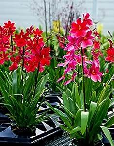 Vivai Le Georgiche Orchidea Burrageara Nelly Isler (Cambria)