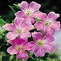 Storchenschnabel rosa x 3 von Meingartenshop auf Du und dein Garten