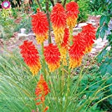 SwansGreen 9 : 50Pcs Poker (Kniphofia Uvaria) Seeds Beautiful Bonsai Torch Lily Seeds Perennial Potted Family Garden Beautiful Decorative Flowe 9