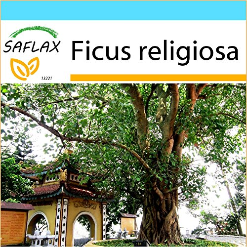 SAFLAX - Geschenk Set - Buddha-Feige / Bodhi-Baum - 100 Samen - Ficus religiosa