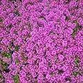 lichtnelke - Polsterthymian ( Thymus praecox ' Atropurpurea ' ) von Lichtnelke Pflanzenversand auf Du und dein Garten