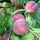 Pfirsichbaum Benedicte (S) weißfleischiger Pfirsich hoher Ertrag Buschbaum 120-150 cm 10 Liter Topf