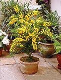 Mimosa armata