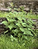 Echte Brennnesseln -Urtica dioica- 1 Portion mindestens 100 Samen/Saatgut