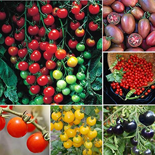 Tomasa Samenhaus- 50pcs Kirschtomaten-Supersweet organische Frucht Kirschtomaten Zuckersüß Mischung Hausgarten Rarität Tomatenpflanze Cherrytomate - Die Tomaten-samen, Krankheiten Resistent Gegen