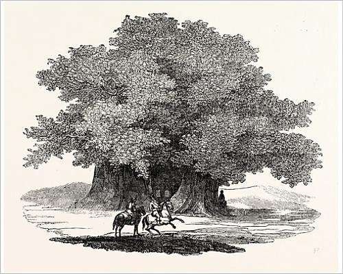 photographic-print-of-great-chesnut-tree-of-mount-aetna
