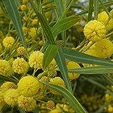Acacia retinoides - Mimosa des 4 saisons jaune
