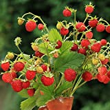 Alpine Strawberry Baron Solemacher Samen - Wald-Erdbeere