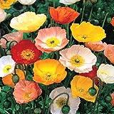 100 Graines semence fleur coquelicot pavot coloris pastel mix shirley mixed