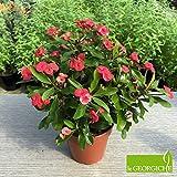 """Euphorbia milii """"Vulcanus Red"""" (Spina di Cristo) [Vaso Ø12cm]"""