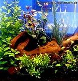 Kleines Wasserpflanzen Set f 20-40 l Aquarium (3)