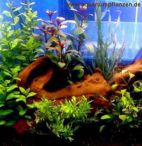 Pequeño Plantas agua Set 20-40 l Acuario 3