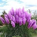 20 pcs Semilla del Hierba de Pampa ,AZX,Flor Hierba de Pampa Bonsai,Semillas de Plantas de Jardín,Color Pulpura