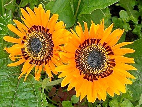 Venidium Orange - Afrikanische Sommerblume - 50 Samen