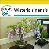 SAFLAX - Anzucht Set - Bonsai - Blauregen  - 4 Samen - Wisteria sinensis