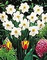 30 Dichternarzissen Actaea duftend Narzissen Blumenzwiebeln Narcissus von Blumenhandel Ullrich bei Du und dein Garten