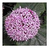Clerodendron bungei - Losbaum - 10 Samen