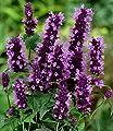 """BALDUR-Garten Winterharte Agastache """"Black Adder"""",3 Knollen Duftnessel von Baldur-Garten bei Du und dein Garten"""