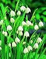 Märzenbecher, 15 Zwiebel Größe 8/9, Leucojum aestivum von Amazon.de Pflanzenservice auf Du und dein Garten