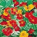 Gärtner Pötschke Rankende Kapuzinerkresse Variegated Queen-Mischung von Gärtner Pötschke auf Du und dein Garten