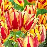 lamta1k 100 Pcs VarišŠtšŠ QualitšŠ de la Graine de Tulipe et taux de Survie šŠlevšŠ Belle Fleur Floral Home Garden Plant DšŠcoration - 3pcs bulbes de Tulipes Jaunes et Rouges
