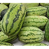 Pinkdose 40 Watermelon Seeds 'Congo' - Non-GMO Heirloom Large fruit, 30 to 50 lbs !