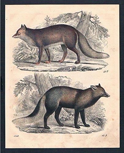 Fuchs Füchse fox Säugetier Tier animal Original Lithographie lithograph