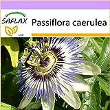 SAFLAX - Blaue Passionsblume - 25 Samen - Passiflora caerulea