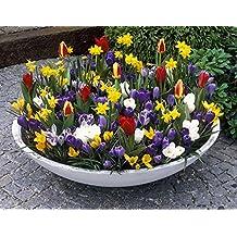 """Amazon.de Pflanzenservice """"Frühe Pracht"""" 134 Blumenzwiebeln für die Herbstpflanzung, Mischung aus Frühjahrsblühern: Tulpen, Narzissen und Krokusse, mehrjährig, winterhart"""