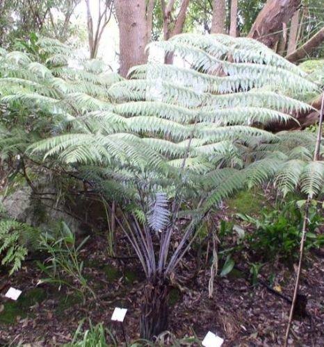 Cyathea dealbata - Silberfarn - 10 Samen