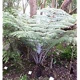 Cyathea dealbata - - 10 semillas