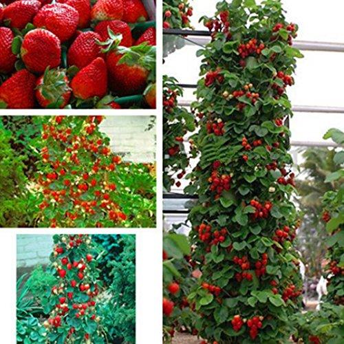 Kisshes Seedhouse - Bio Rare Fraisiers 'Mount Everest' fraisiers grimpants plante vivace graines plant fruitier jardin juteuse savoureuse sucrée