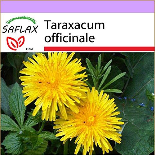SAFLAX - Pissenlit - 200 graines - Taraxacum officinale