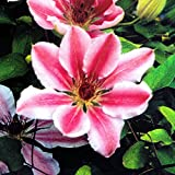 Clematis Nelly Moser - 1 pflanze