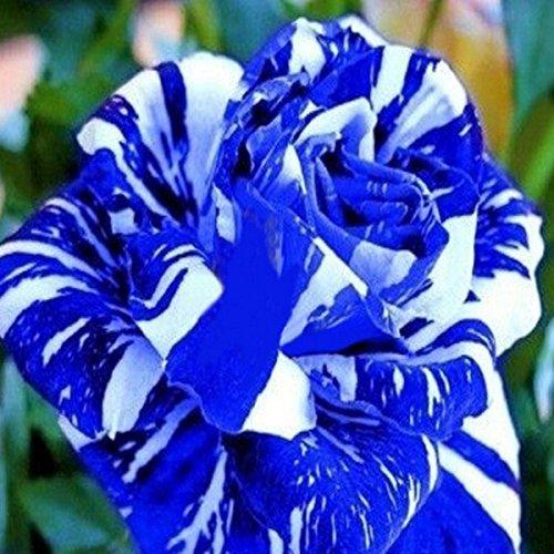 150PCS Blue Dragon semi della Rosa bella striscia raro cespuglio di rose giardino pianta o fiore cortile