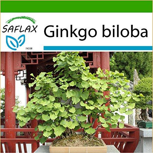SAFLAX - Bonsai - Ginkgo - 4 Samen - Mit Substrat - Ginkgo biloba